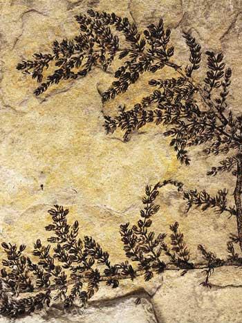 Montsechia vidalii fossil