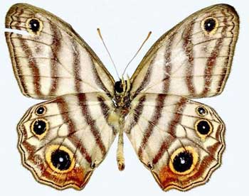 Black eyed satyr butterfly