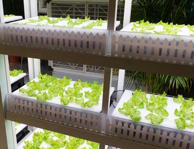 Lettuce being grown in a robot-run farm