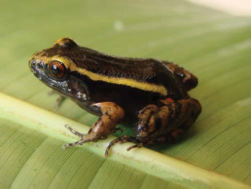 Amazonian frog, Lithodytes lineatus, sitting on a leaf