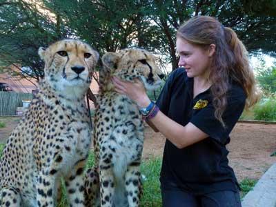 Female wildlife biologist examing two cheetahs