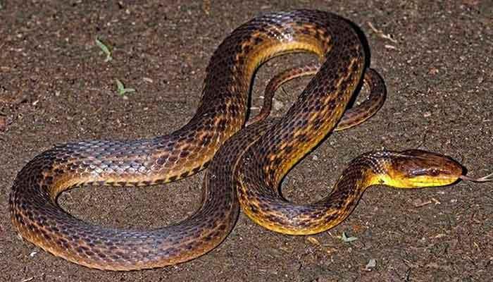 Assam Keelback snake