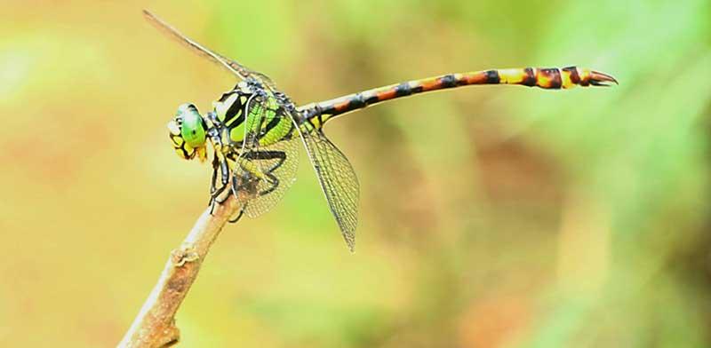 Megalogomphus superbus Fraser dragonfly
