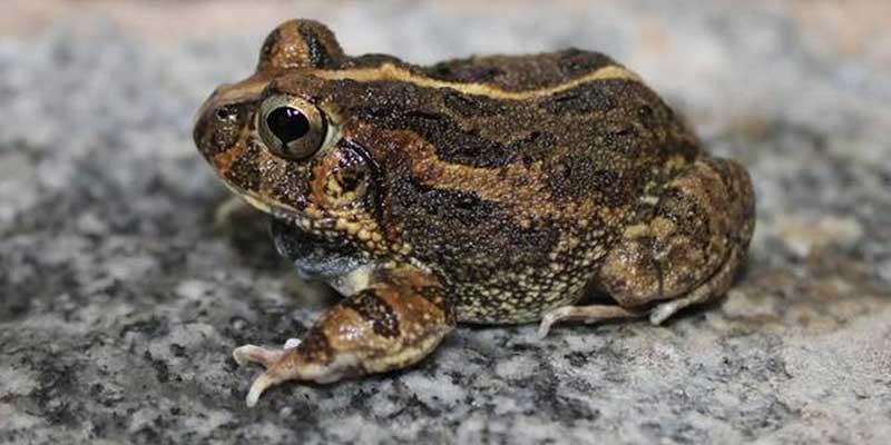 Sphaerotheca Bengaluru frog